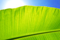 Banana leaf against blue sky Royalty Free Stock Photography
