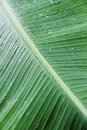 Banana leaf background after rain Royalty Free Stock Photography