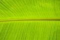 Banana leaf backlit sun background Stock Image