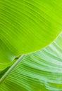 Banana leaf backlit sun background Stock Photography