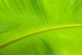 Banana leaf backlit sun background Royalty Free Stock Photo