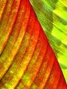 Banana Leaf Close Up Royalty Free Stock Photo