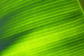 Banana leaf closeup wallpaper texture Royalty Free Stock Photos