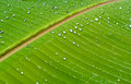 Banana leaf dew on Royalty Free Stock Photo