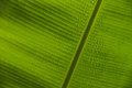 Banana leaf and dew closeup bottom side of with raindrops or close up Stock Photo