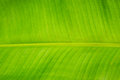 Banana leaf green line texture Stock Images