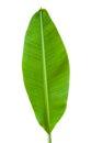 Banana leaf isolated Royalty Free Stock Photo