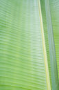 Banana leaf the photo of Royalty Free Stock Photography