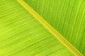 Banana leaf texture Royalty Free Stock Photos