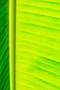 Banana leaf texture for background Royalty Free Stock Photos