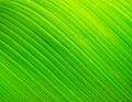 Banana leaf texture Royalty Free Stock Photo