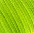 Banana leaf texture green and background Stock Images
