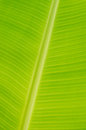 Banana leaf texture of left for background Royalty Free Stock Photography