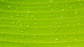 Banana leaf texture with water drops Royalty Free Stock Photo
