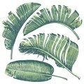 Tropical leaves collection. Banana palm leaves in realistic style with high details.