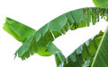 Banana leaves or banana tree. Royalty Free Stock Photo