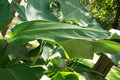 Banana leaves Royalty Free Stock Photo