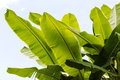 Banana leaves many. Royalty Free Stock Photo