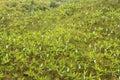 Banana monoculture Royalty Free Stock Photo