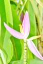 Banana ornamental musaceae blossom and bunch on tree inthailand Stock Photos