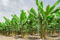 Banana palm trees rows on cultivated fruit orchard Royalty Free Stock Photo