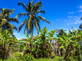 Banana plantation with blue sky trees in thailand Stock Images
