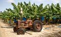 Banana plantation on cyprus with decommissioning old tractor in Royalty Free Stock Photography