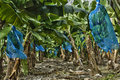 Banana plantation in martinique france Stock Image