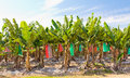Banana plantation topdressed against blue sky top dressed with gypsum with bagged fruit in australia Stock Photos