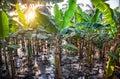 Banana plantations Royalty Free Stock Photo