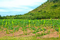 Banana plants on a farm Royalty Free Stock Photography