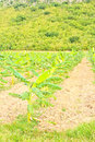 Banana plants on a farm Royalty Free Stock Images