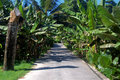 Banana plants lining road Stock Image
