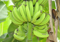 The banana regime beau plantain growing green on tree wonderful what gives us narure Royalty Free Stock Images