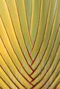 Banana's tree texture Royalty Free Stock Photo