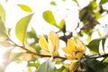 Banana shrub flower Royalty Free Stock Photo