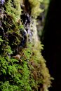 Banana slug crawls on moss covered tree trunk in rain forest of Vancouver Island Royalty Free Stock Photo