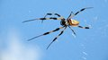 Banana spider closeup of a large golden silk orb weaver photographed in a south florida park Royalty Free Stock Photos