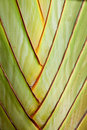The banana stem Royalty Free Stock Photos