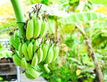 Banana tree Royalty Free Stock Photography