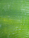 Banana tree Royalty Free Stock Photos