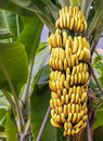 Banana tree with a bunch of ripe bananas Royalty Free Stock Photo