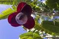 Banana tree flower Royalty Free Stock Photo