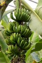 stock image of  Banana Tree with green bananas