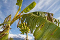 Banana tree Royalty Free Stock Photo