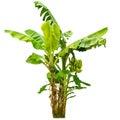 Banana tree isolated on white background close up Royalty Free Stock Image