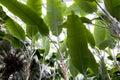 Banana Tree Subtropical Garden
