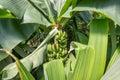 Banana trees Royalty Free Stock Photo