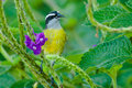 Bananaquit Stock Photos