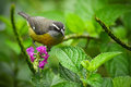 Bananaquit, Coereba flaveola, exotic tropic song bird sitting on the pink flower. Grey and yellow bird in the nature habitat. Anim Royalty Free Stock Photo